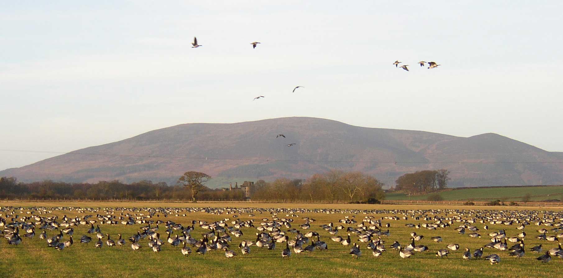 Barnacle geese at Caerlaverock