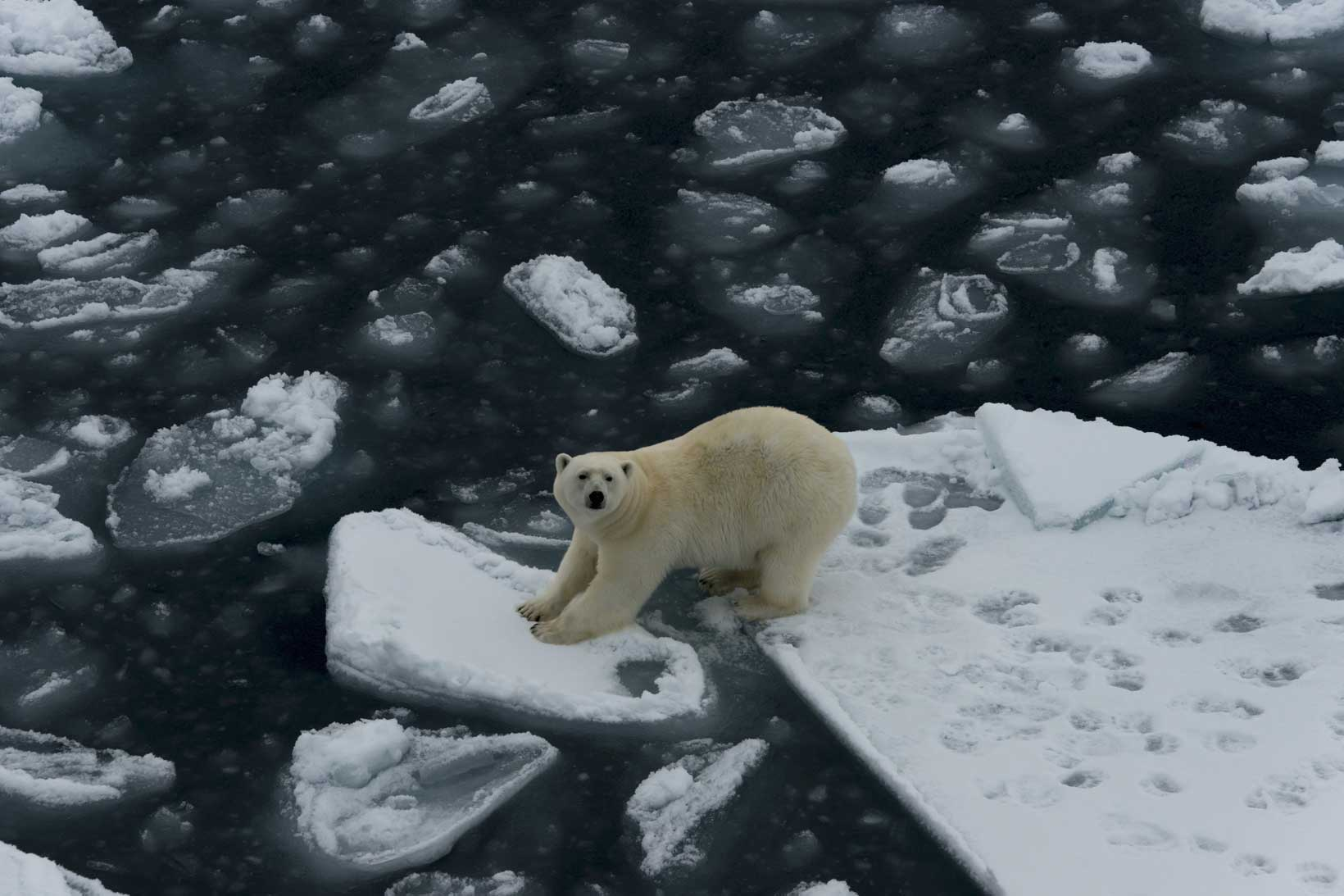 Polar bear stranded