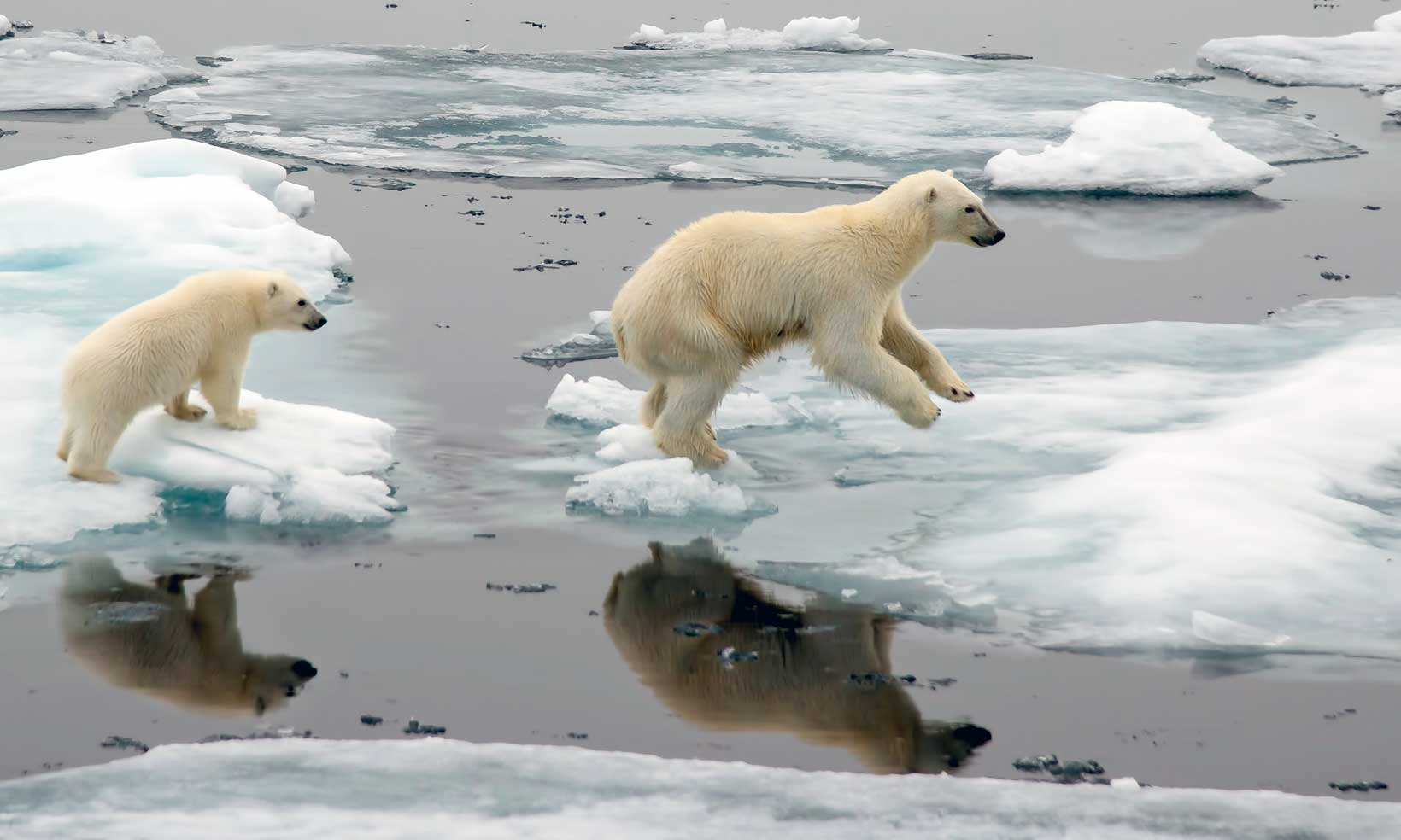 Polar bears jumping