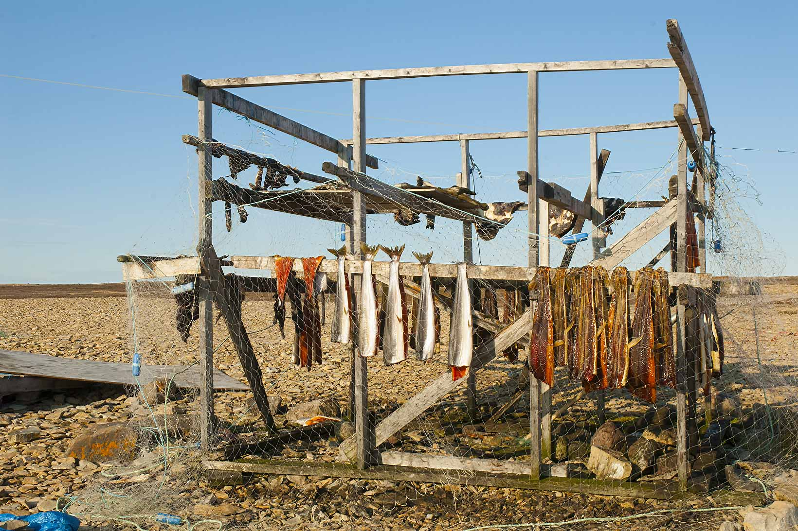 Fish drying on an Arctic beach