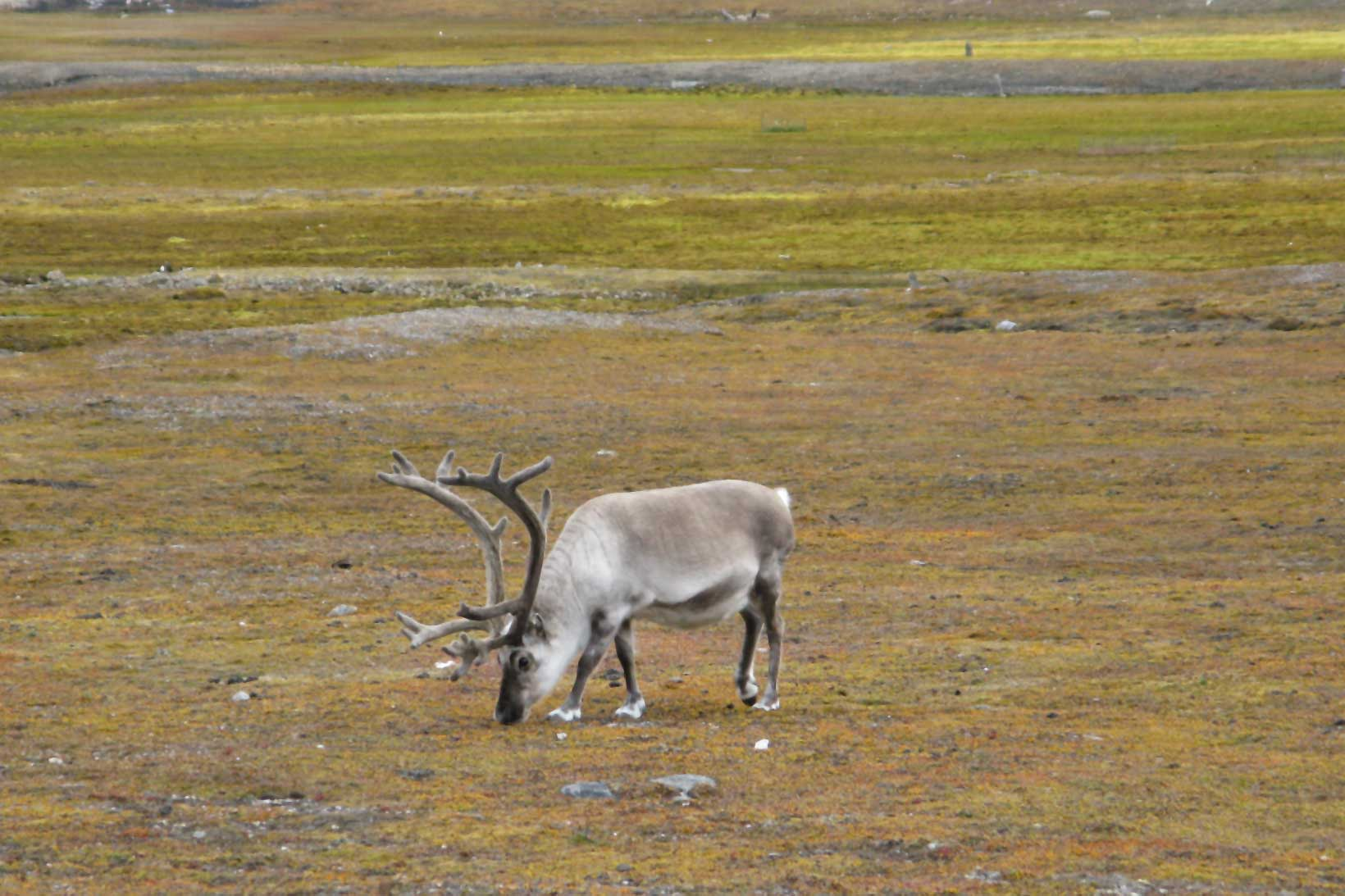 Reindeer grazing on lichen in Svalbard