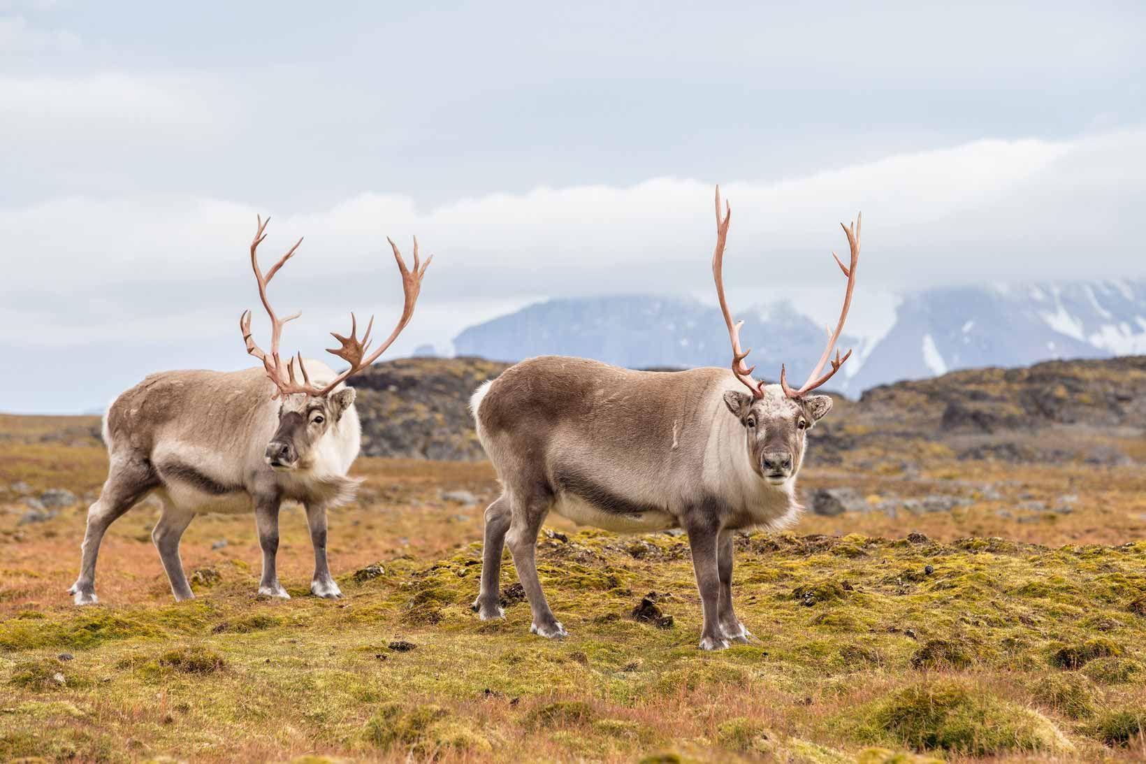 Reindeer in natural habitat